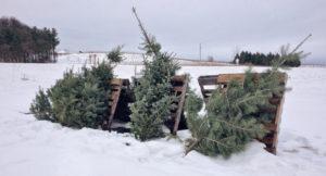 Weihnachtsbaumentsorgung – aber bitte ohne Lametta!